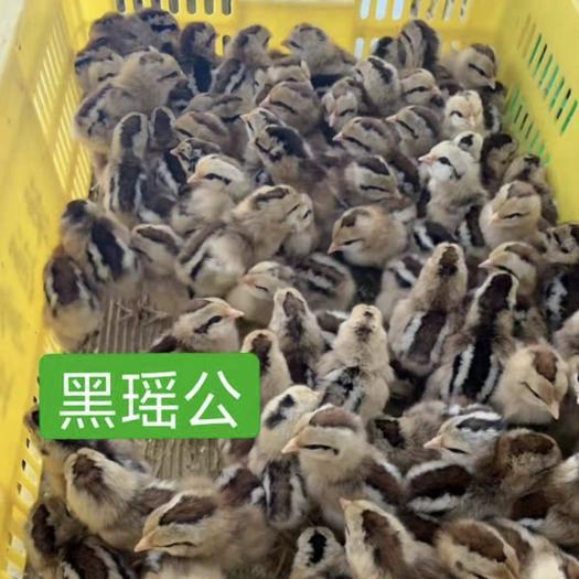 广东省广州市白云区 黑瑶鸡苗 厂家直销