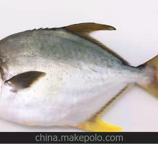 福建省漳州市东山县金鲳鱼 人工养殖 0.5公斤以下