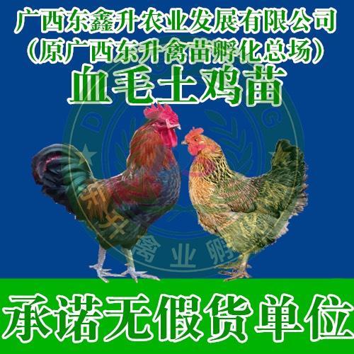 广西壮族自治区钦州市钦南区 血毛土鸡苗——承诺无假货单位