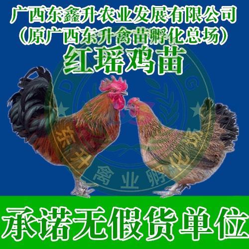 广西壮族自治区钦州市钦南区 红瑶鸡苗——承诺无假货单位