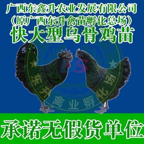 广西壮族自治区钦州市钦南区 黑凤鸡苗——承诺无假货单位