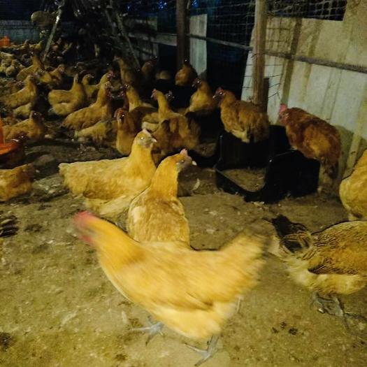 重庆璧山区青脚土鸡 5个月,均重3.3斤,重的3.7.轻的2.8,全部拿完可低价