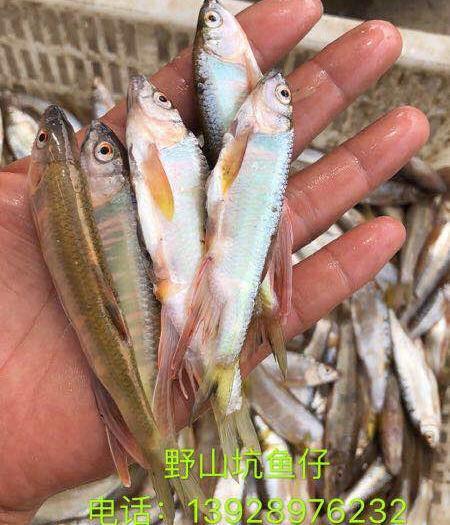 廣東省廣州市增城區冰片 野生山坑魚仔