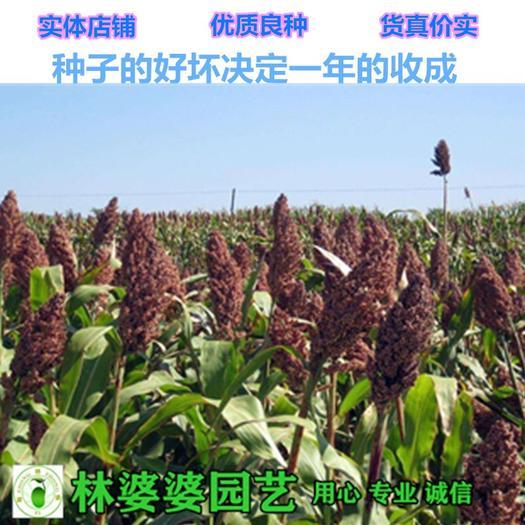 江蘇省宿遷市沭陽縣 甜高粱種子各種牧草種子包郵