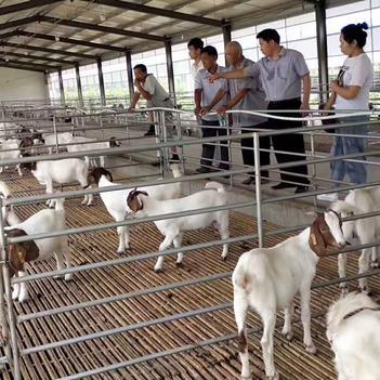 羊-山羊-波尔山羊-繁殖种羊