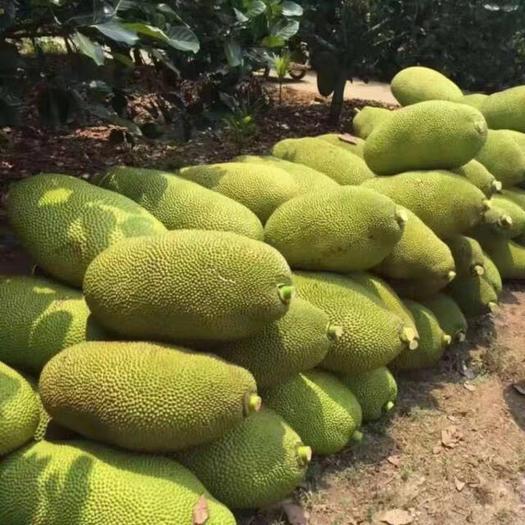海南省文昌市文昌市 海南红黄肉菠萝蜜,一手货源,大量现货供应中