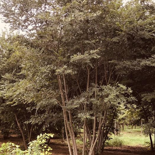 山东省泰安市泰山区 朴树丛生朴树