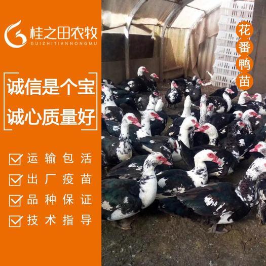 广西壮族自治区南宁市兴宁区 西洋鸭苗批发 厂家直发 包打疫苗 运输包活 包邮