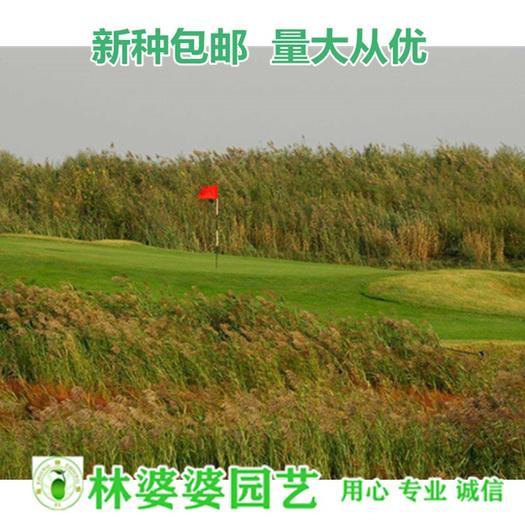 江苏省宿迁市沭阳县 甜高粱种子包邮