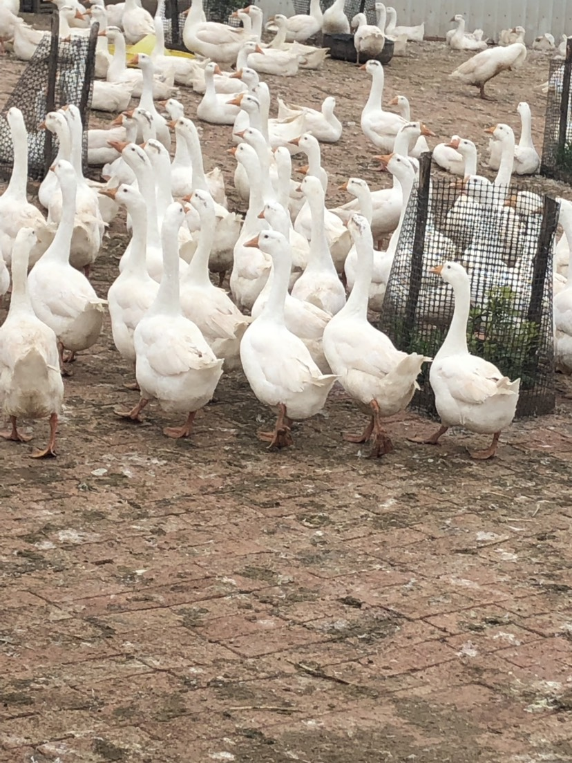 [肉鹅批发] 120天到160天白鹅,平均4公斤价格24元/公斤
