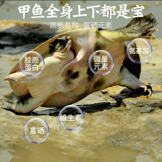 浙江省嘉興市海鹽縣 誠信經營,品質保證。無公害農產品水甲魚、團魚好品質來自大自