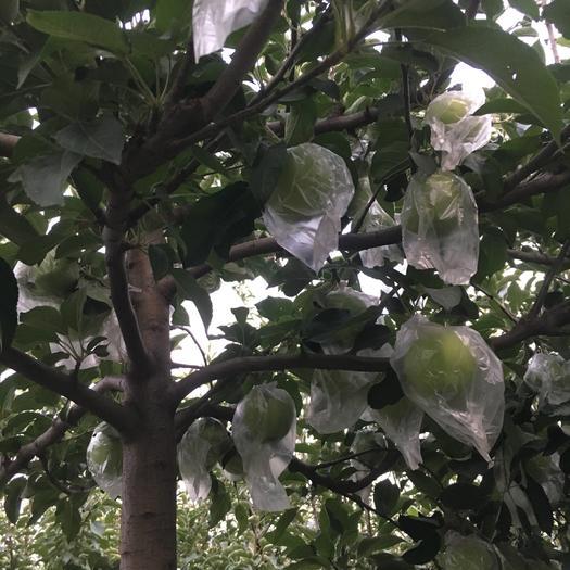 河南省安陽市湯陰縣紅香蕉蘋果 75mm以下 片紅 膜袋