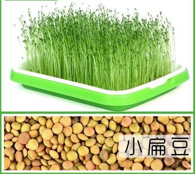 山东省临沂市兰山区 小扁豆 生产扁豆芽 熬粥 做凉粉的原料
