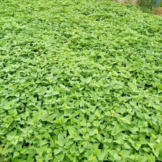 廣西壯族自治區南寧市西鄉塘區紫薯葉 有機蔬菜番薯葉優惠批發
