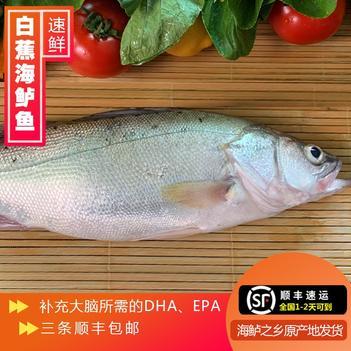 白蕉海鲈冰冻鲜活开背七星海鲈鱼冷冻花鲈一件起批零售珠海特产