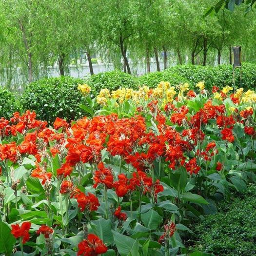 福建省福州市永泰縣大花美人蕉 2cm以下 0.5~1米