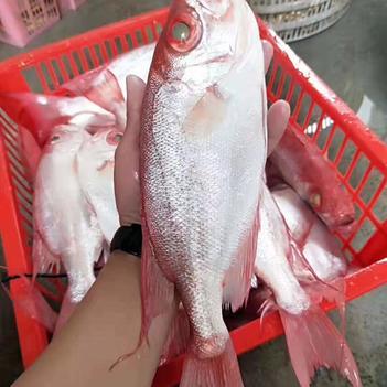 红娘鱼 本港野生红目莲香煎、红烧、滚烫都很好吃