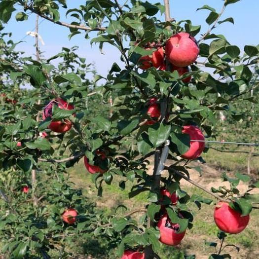 江蘇省蘇州市蘇州工業園區美國蜜脆蘋果 85mm以上 全紅 紙袋