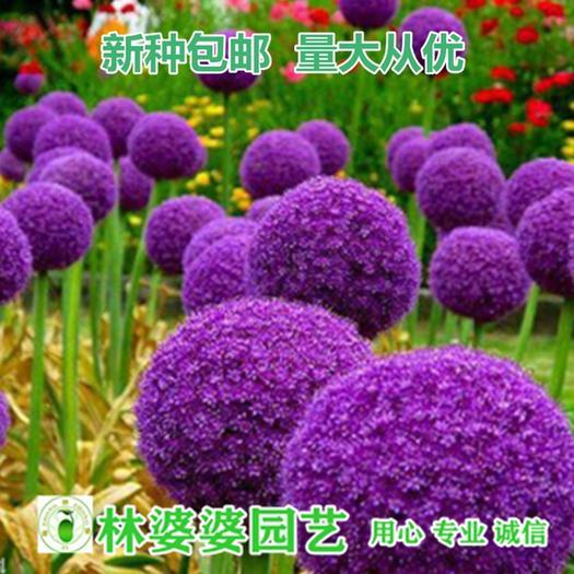 江苏省宿迁市沭阳县 大花葱种子包邮