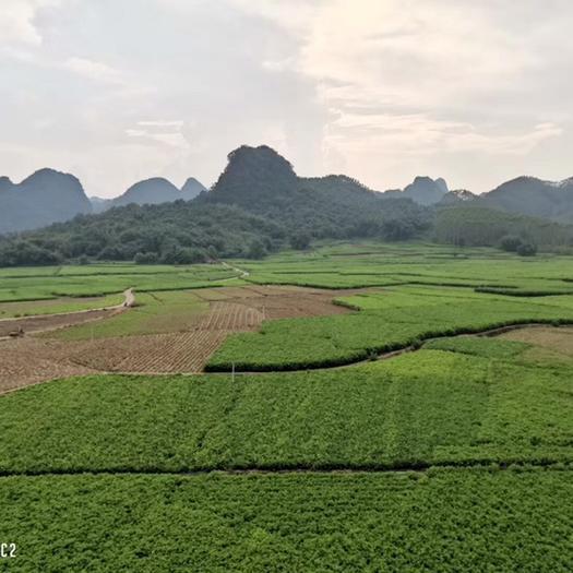 廣東省清遠市英德市速凍桑葉菜 桑葉菜無公害蔬菜,歡迎經銷商過來種植基地指導工作