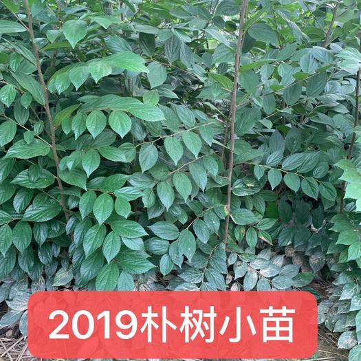江苏省常州市金坛区 当年朴树小苗,小叶朴树,自产自销