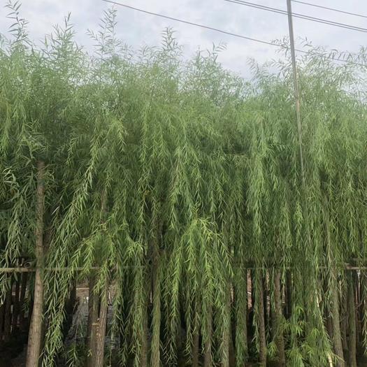 广东省揭阳市普宁市 垂柳5公分袋苗高3米 园林绿化中常用的行道树