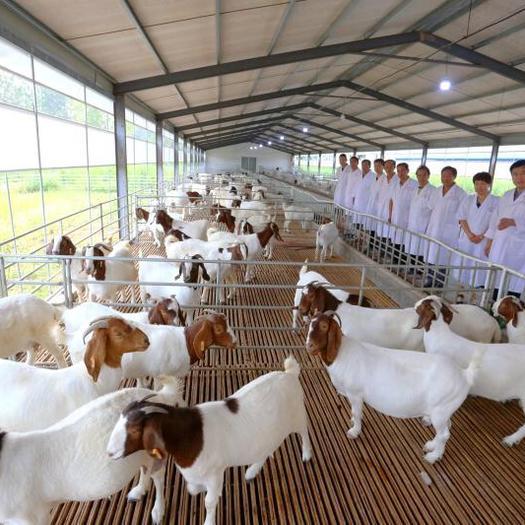 河南省商丘市宁陵县 羊-波尔山羊-繁殖羊-青年母羊-精品种羊
