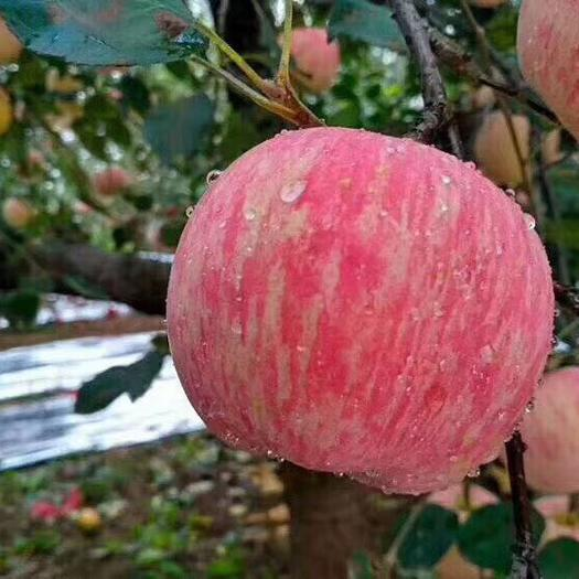 山東省煙臺市芝罘區棲霞蘋果 55mm以上 條紅 紙+膜袋