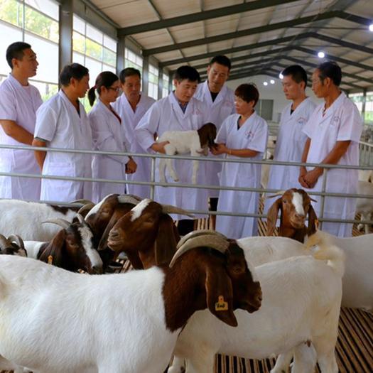 河南省商丘市宁陵县 羊-山羊-波尔山羊-繁育母羊-种羊