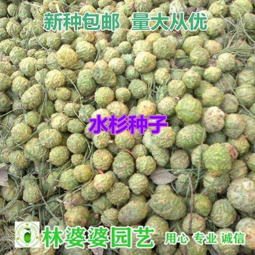 江苏省宿迁市沭阳县 水杉种子包邮