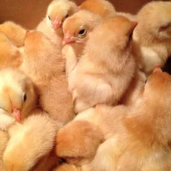 廠家直銷批發雞苗%廣西三黃公雞 % 三黃公雞%土公雞%