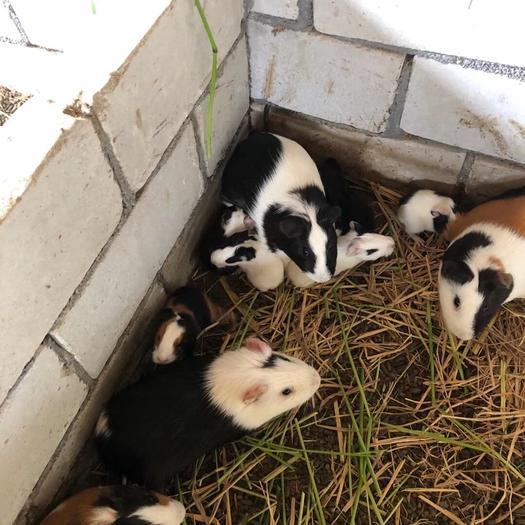江西省抚州市东乡区豚鼠 大批种豚商品豚供应