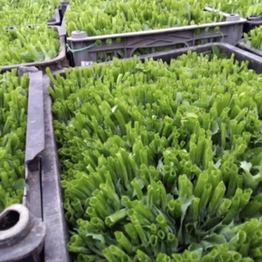四川省成都市新都区 豌豆尖种子 豌豆种子 耐寒性好 杆子粗 叶片大 基地专用