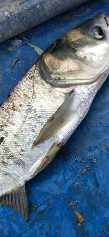 淡水青鱼 4一6斤