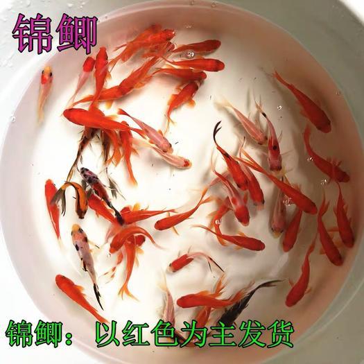 陕西省咸阳市渭城区 国粹精华锦鲤鱼,美观大气