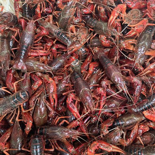 湖北省潜江市潜江市 潜江优质小龙虾,干净,肉质鲜嫩饱满