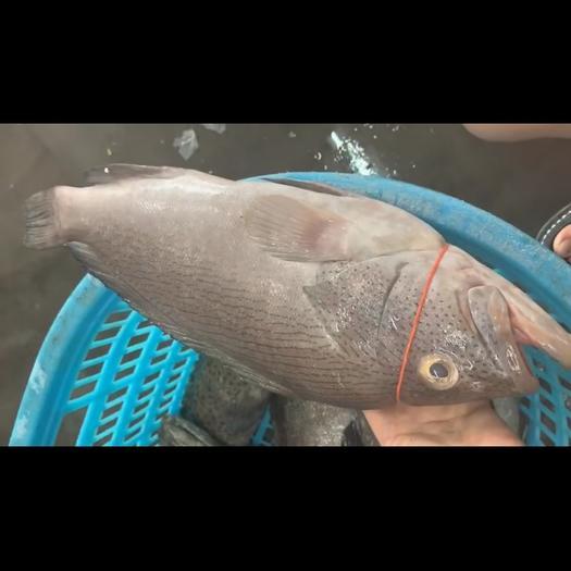 广东省深圳市盐田区 白瓜子石斑鱼,很稀有