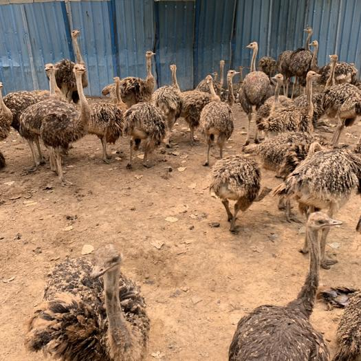 山东省济宁市嘉祥县 各年龄段鸵鸟 世界上最大的鸟非洲鸵鸟 最大300斤的种鸟