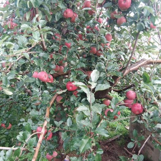 四川省凉山彝族自治州盐源县 四川大凉山盐源苹果大量成熟红将军