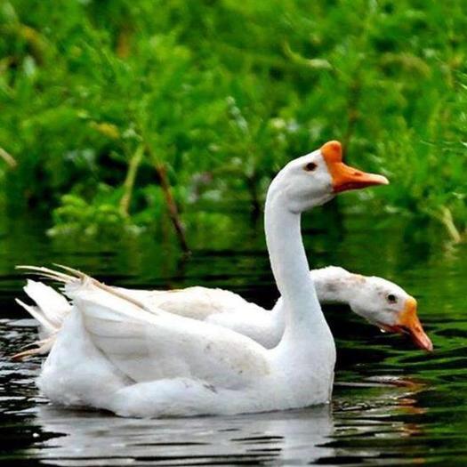 江西省抚州市乐安县 大量三花大白鹅供应