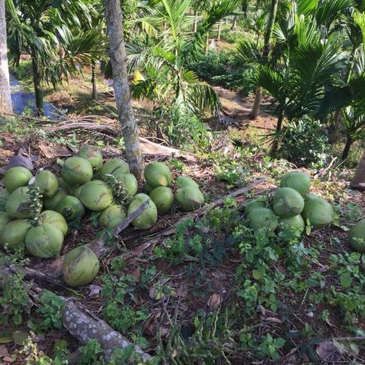 海南省琼海市琼海市 椰子老椰毛椰供应