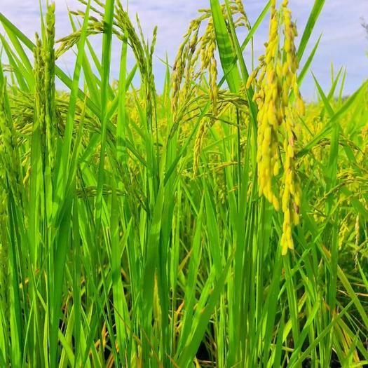 内蒙古自治区通辽市奈曼旗稻花香大米 一等品 一季稻 粳米