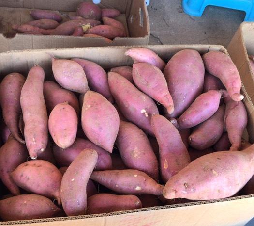 辽宁省沈阳市浑南区 沙地红薯 济薯26
