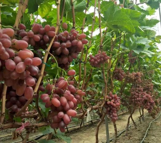 四川省凉山彝族自治州西昌市克伦生葡萄 2斤以上 5%以下 1次果