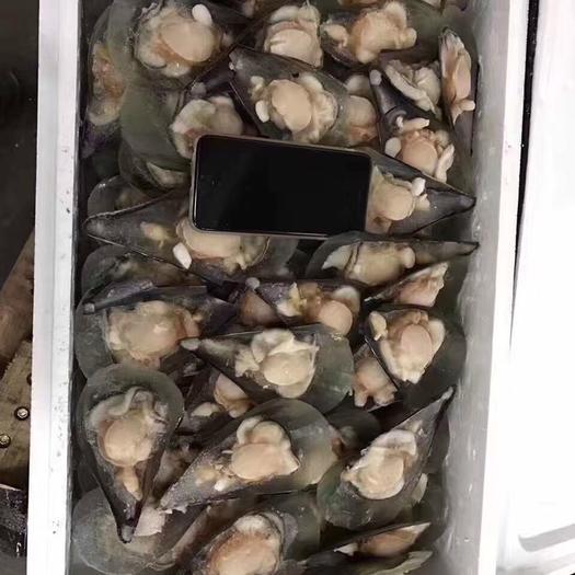 广东省深圳市龙岗区扇贝干 江瑶贝 半壳带子 鲜贝 个头均匀 15斤一件