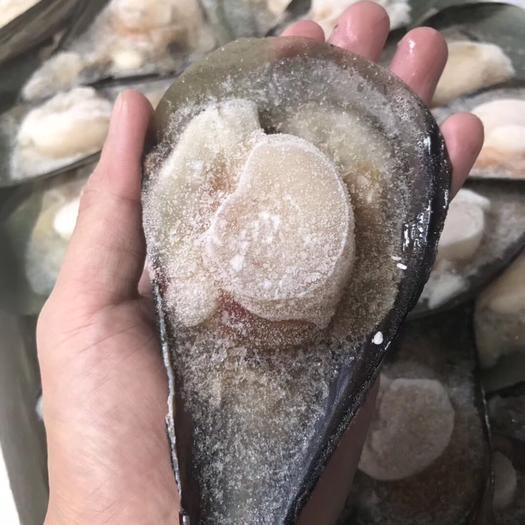 广东省佛山市南海区干贝 带子 半壳江瑶贝 超大新鲜美味贝类 160粒