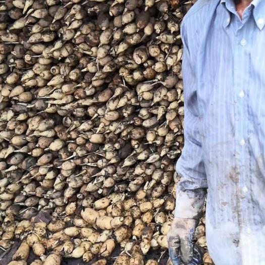 湖北省武汉市东西湖区粉莲藕 货源稳定,刚退的绣,藕白现在已经大面积开工了!