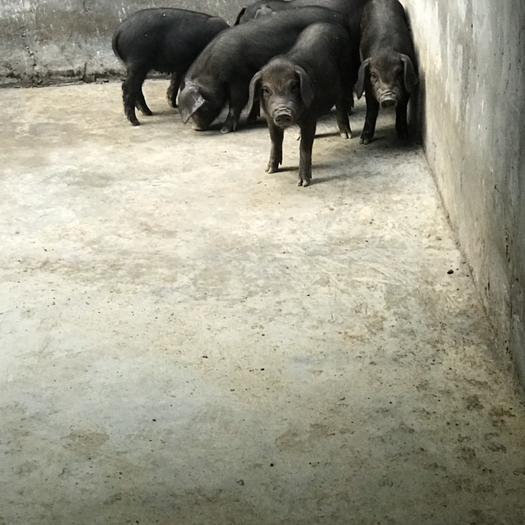 山東省濰坊市坊子區 黑土豬育肥商品豬仔萊蕪黑豬、里岔、煙臺黑豬