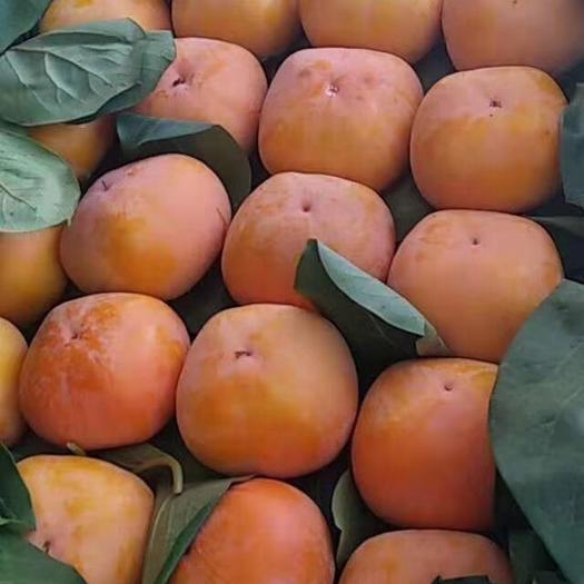 河北省保定市满城区 甜心柿子来了