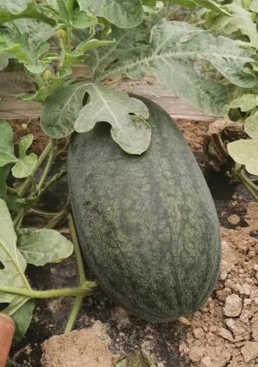 陕西省渭南市大荔县黑皮无籽西瓜 8斤打底 8成熟 1茬 有籽